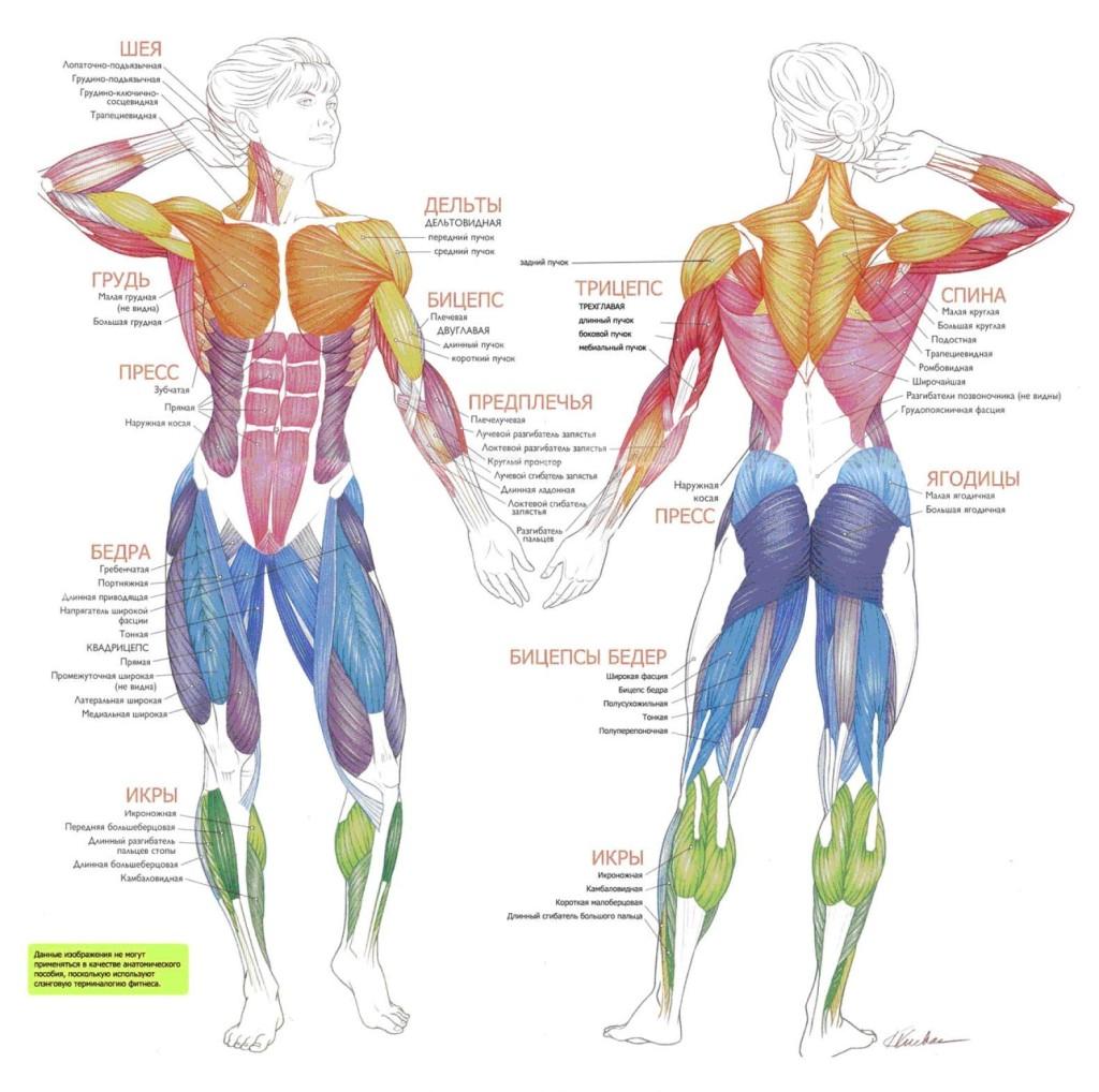 Основные группы мышц в фитнесе