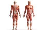 Мышечная ткань является значительной частью массы тела — у мужчин на её долю приходится 42-47% от сухой массы тела, у женщин — 30-35%