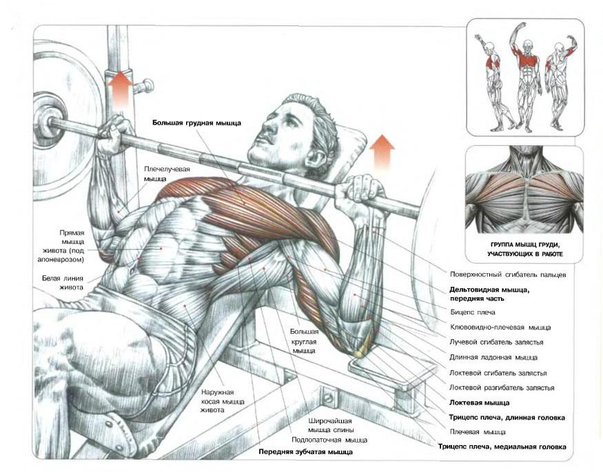 Включая наклонный жим штанги в комплекс упражнений, вы обеспечиваете прекрасные результаты при работе с грудными и дельтовидными мышцами.