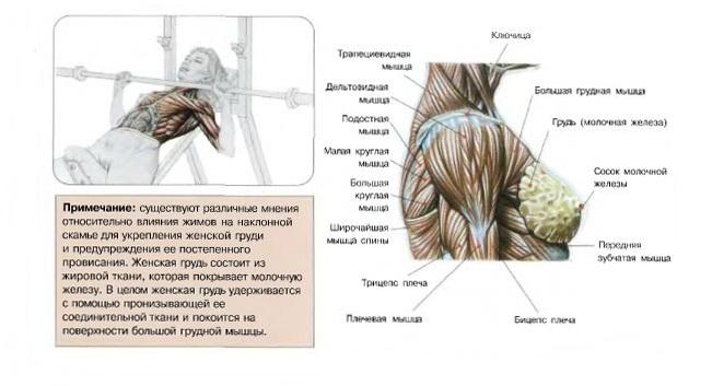 Существуют различные мнения относительно влияния жимов на наклонной скамье на укрепление женской груди.