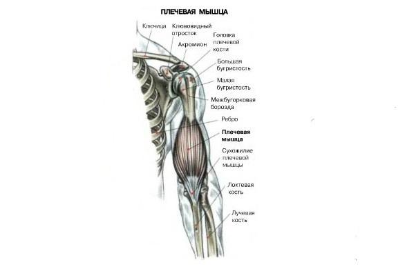 Стабилизирующие мышцы – сгибатели запястья, трапециевидные мышцы (средняя и верхняя часть), передняя часть дельтовидной мышцы и мышца, поднимающая лопатку – леватор.