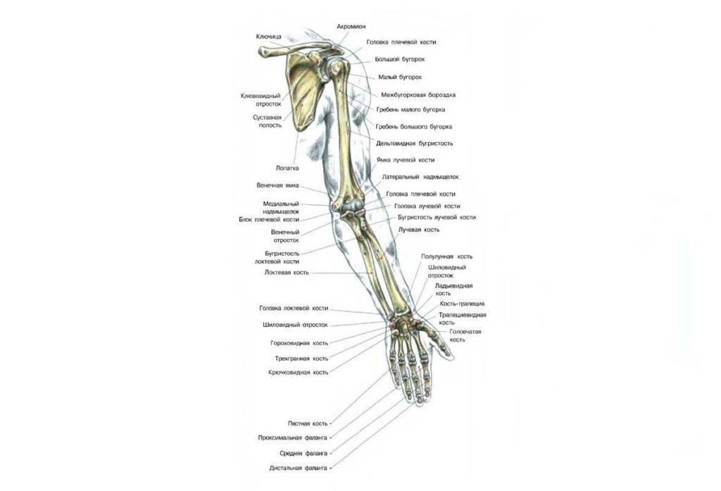 Строение костей верхних конечностей человека