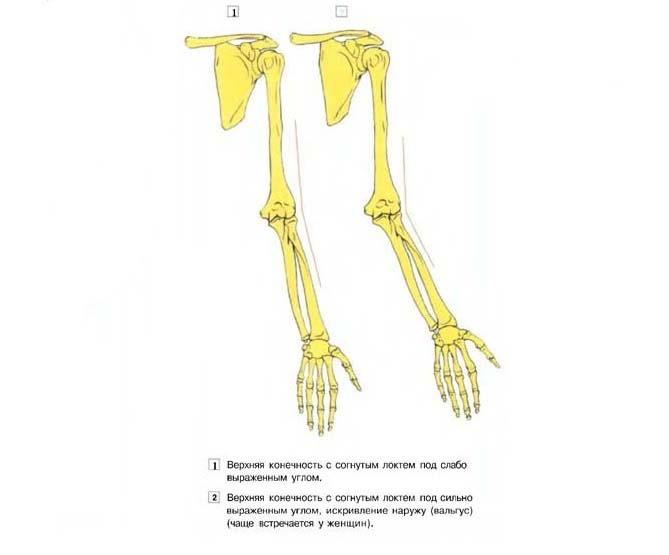 Различия строения локтевого сустава
