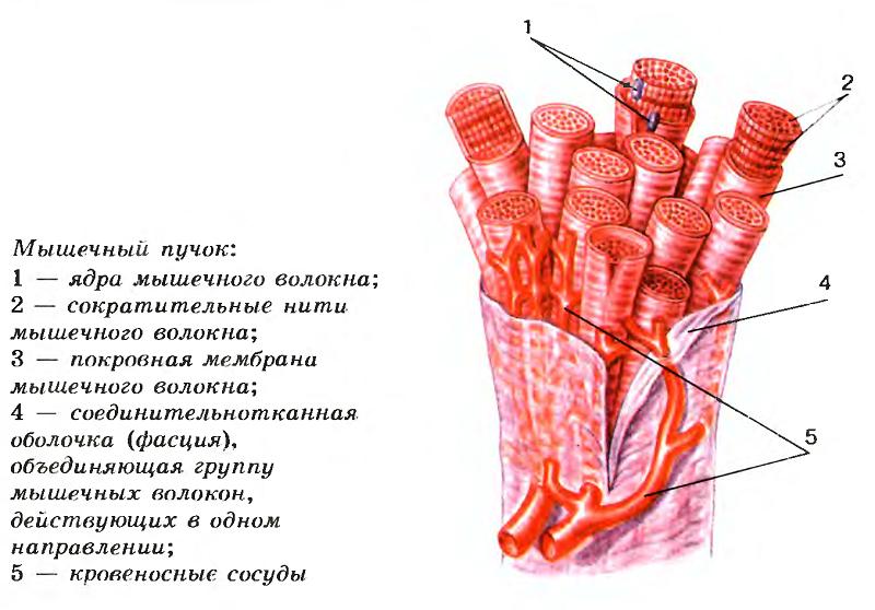 Мышечный пучок