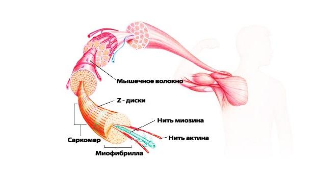 Строение скелетной мышцы человека
