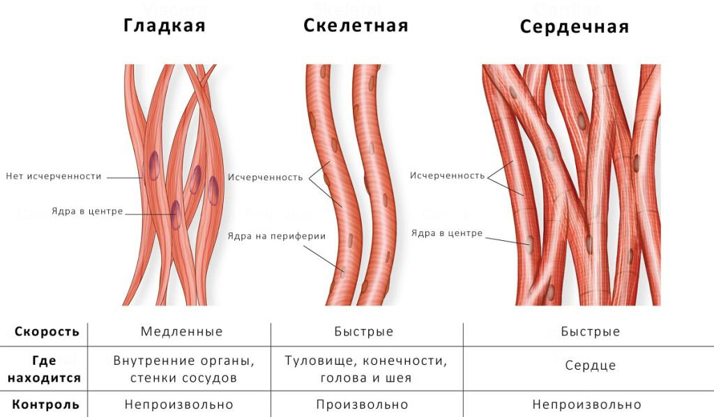 Особенности строения гладкой, скелетной и сердечной мускулатуры
