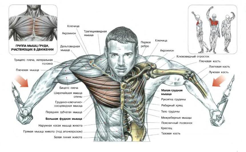 В упражнении кроссовер на верхних блоках в первую очередь, нагрузка рассчитана на две мышцы: большую грудную и дельтовидную (передняя часть).