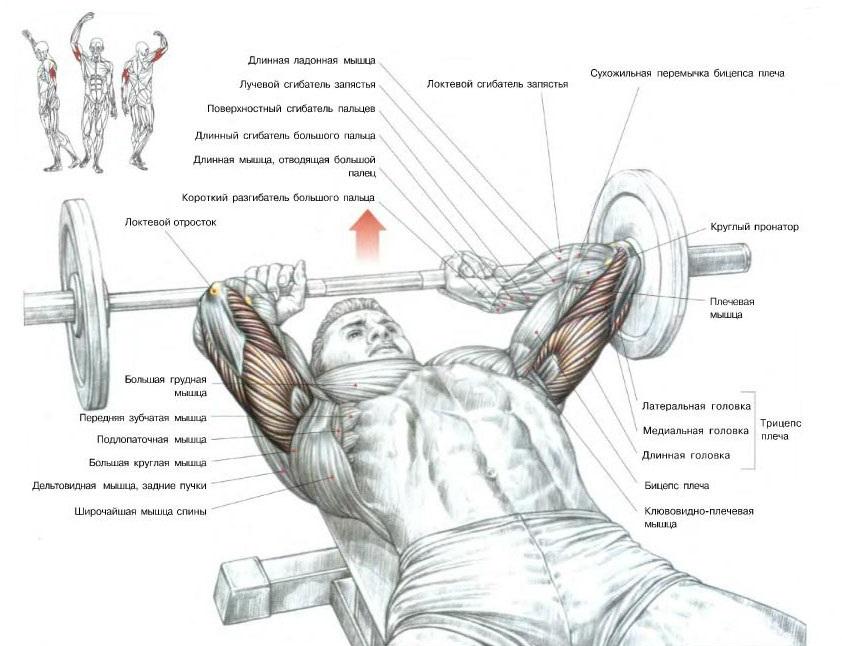 Какие мышцы задействованы в процессе выполнения французского жима
